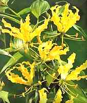 Yellow Flame Lilly (Gloriosa superba var. suberba)