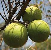 Green Monkey Orange (Strychnos spinosa)