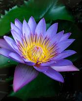 Day Waterlily (Nymphaea nouchali)